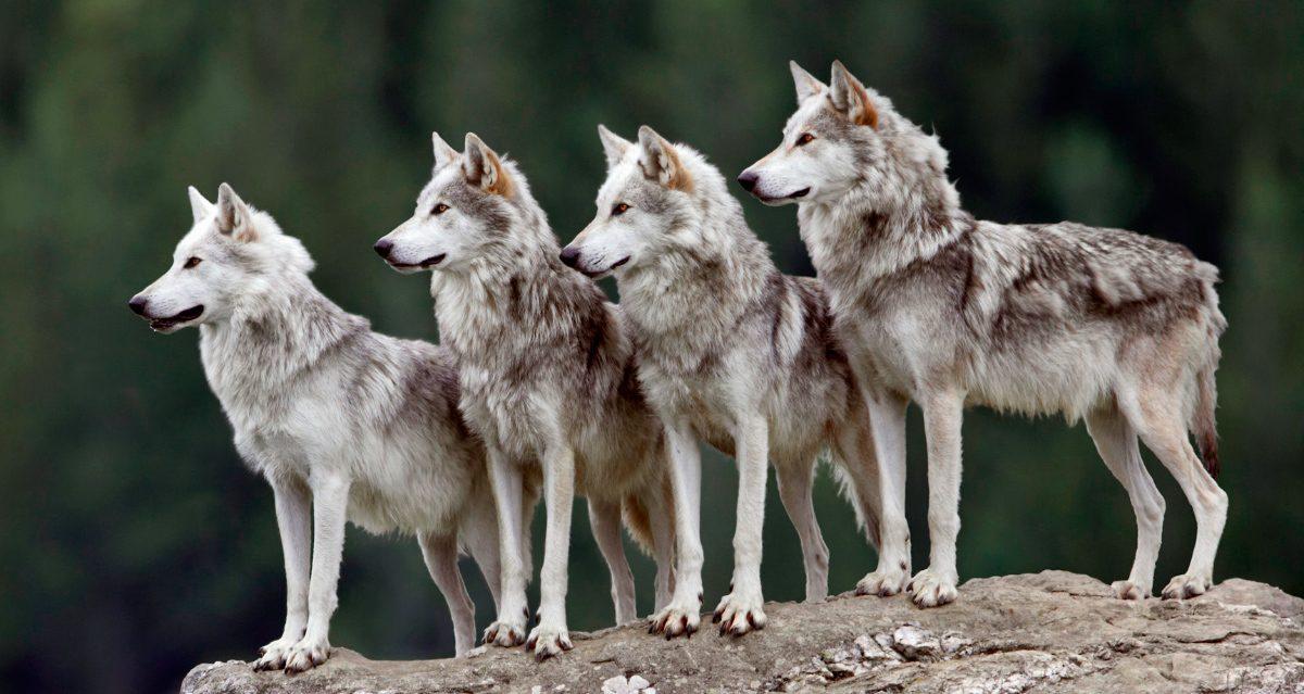 Lobos en la villa