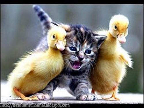 Funny kitten and ducks.