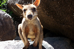 Wallaby.