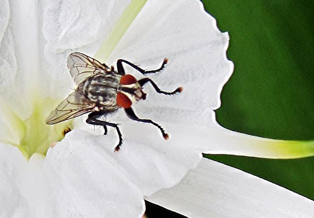 black fly with red eyes on white flower