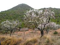 Ametllers florits amb les Costes de Maioles al darrere