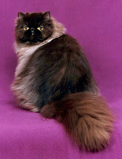 chocolate persian cat kitten pussy mace macka kat kass katze gato con kissa pets Haustiere huisdieren animaux de compagnie kucni ljubimci augintiniai