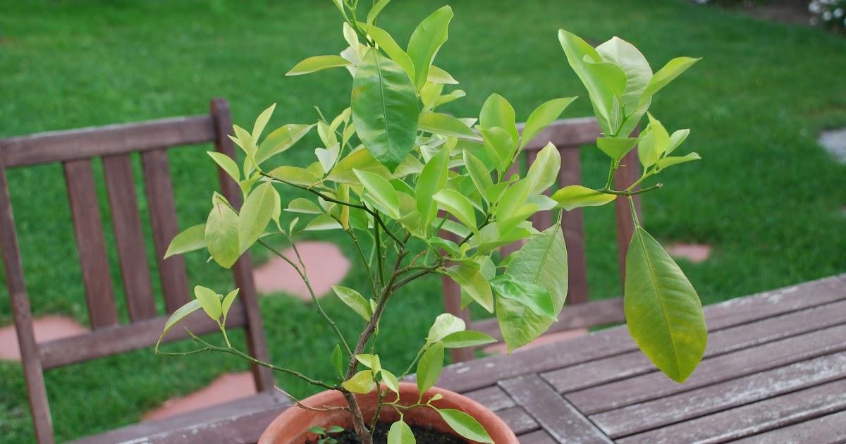 Ca bouffe un doberman comment obtenir de beaux citronniers en gardant les p pins de citrons - Planter un noyau d abricot ...