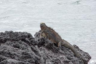 Marine Iguanas at Albemarle, Isabela Island, Galapagos