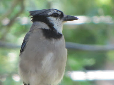 Bluejay - one of the babies from our tree!