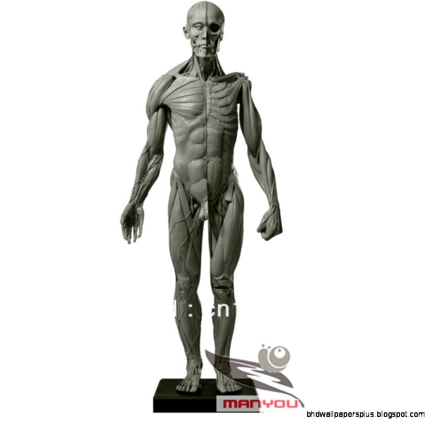 Buy 45CM model emulation Resin muscular human