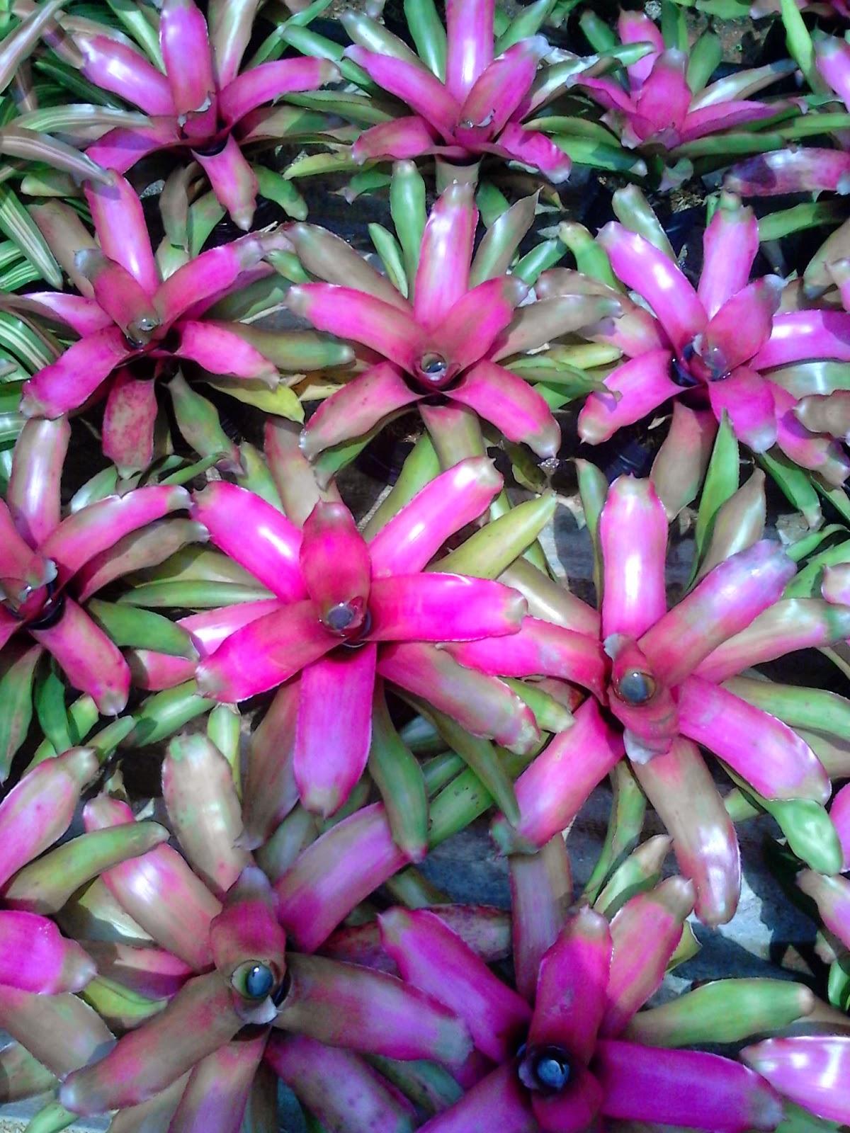 Jual bromelia purple star, red dunhil, pink new, trhee colur | suplier tanaman hias dan rumput taman