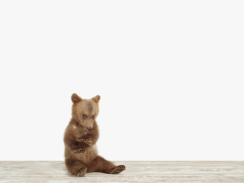 baby bear animal portrait by sharon montrose