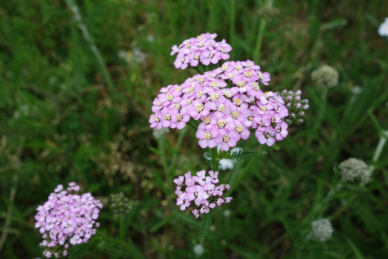 Flowering Time July September Flower Heads With Purple Ray Flowers In Picture Growing Together White Flowered Yarrow And Brown Bristly Phyllaries
