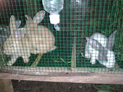 Kelinci Jawa (Lokal)