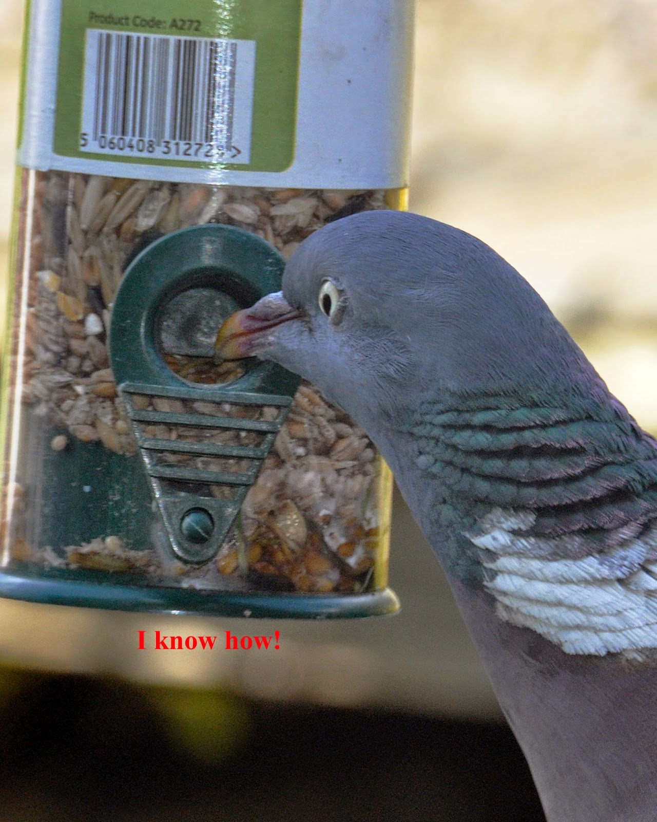 Pigeon at bird feeder