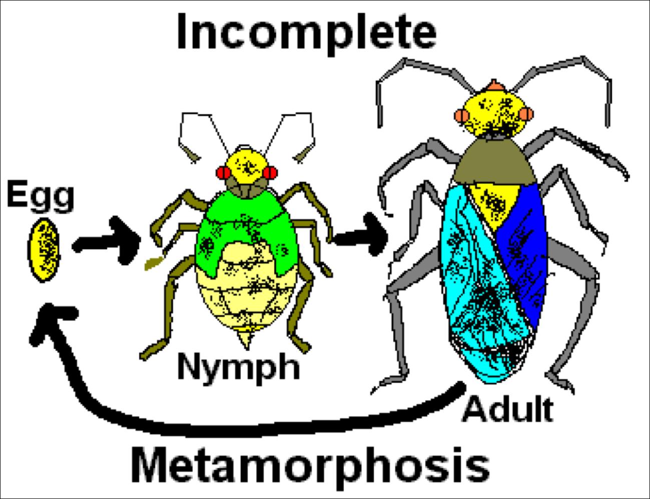 Grasshopper Incomplete Metamorphosis : www.galleryhip.com ...