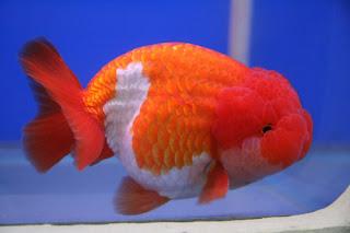 Lionchu/Lionhead Goldfish