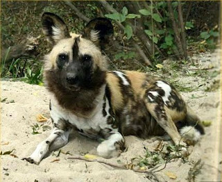 african painted dog on snow