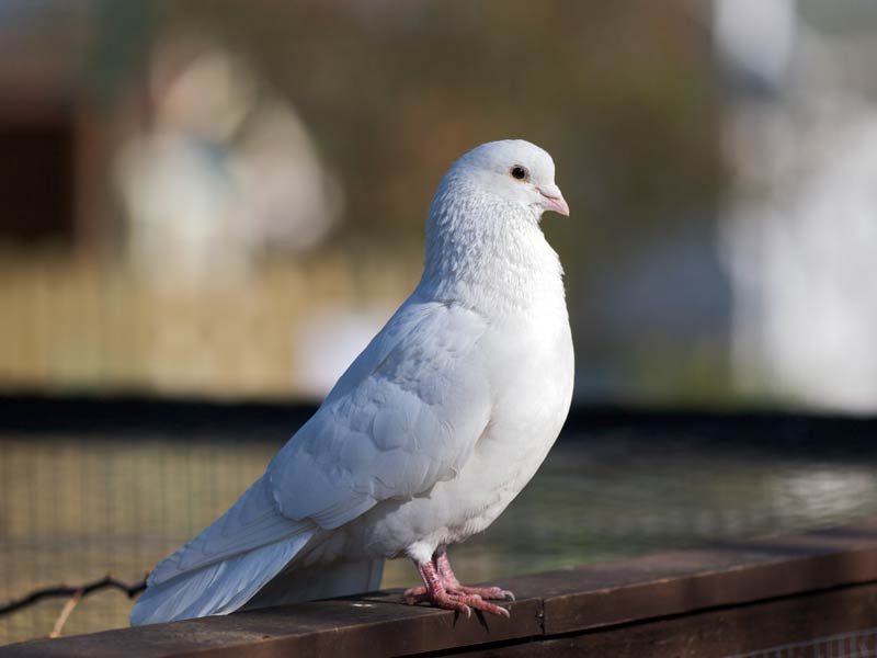 Cute Pure White Dove Seen On www.coolpicturegallery.us