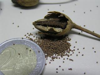 semillas de tabaco