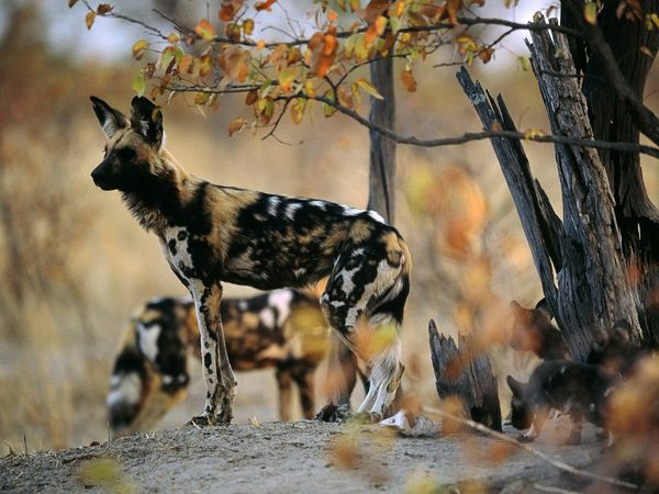 Where Do African Painted Dogs Live?