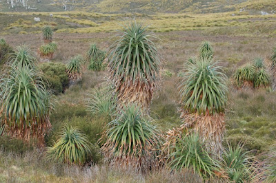 Pandani or Giant Grass Tree (Richea pandanifolia)