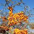 """Científicos investigan la """"súper fruta"""" del espino amarillo"""