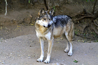Endangered Wolf Watch