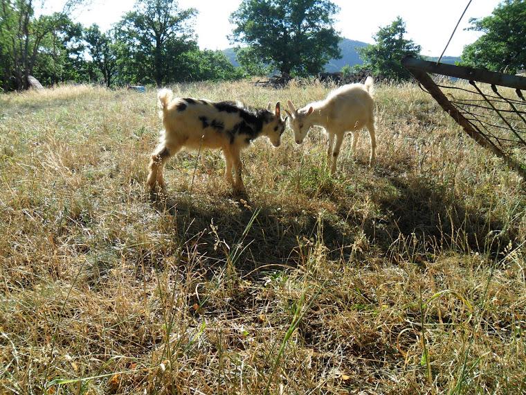prodaja kozjih proizvoda