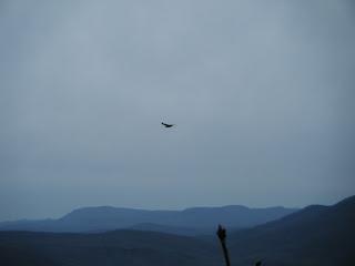 the ripening, soaring bird of prey, flying bird,