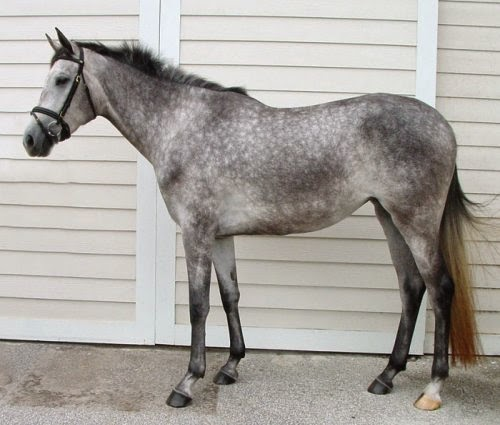 Dapple Grey Horses picture1