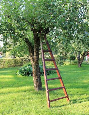 Stege, äppelträd