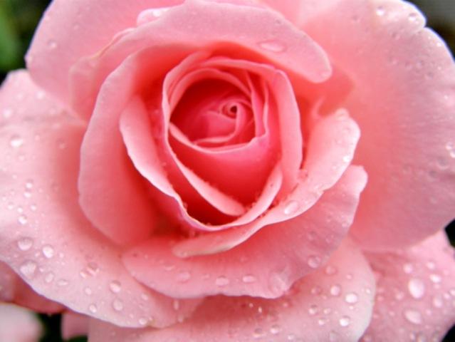 Rosas flores fotos - Imagui