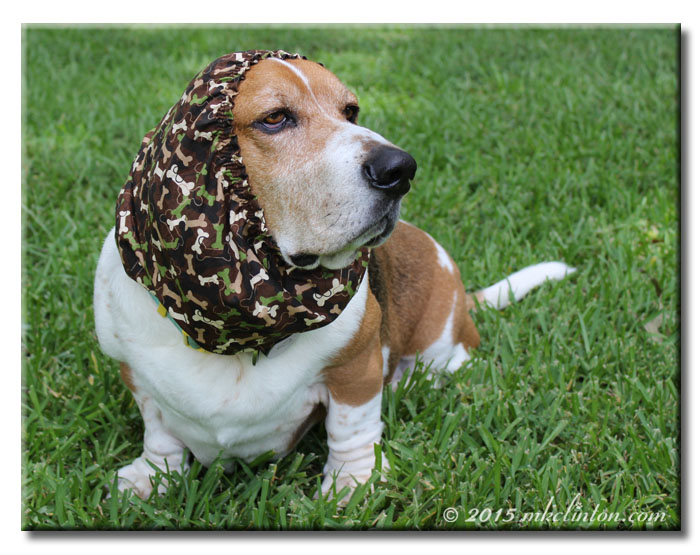 Basset Hound wearing camo snood