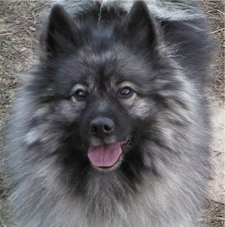Keeshond Puppies on Keeshond Dog Information Pets Puppy Chien Loup Deutscher Wolfsspitz