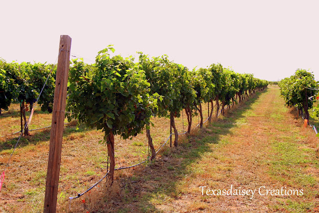 Seymour Texas Generations Vineyard 13