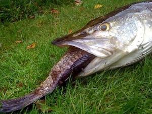 Rakus, Ikan Besar Mati Saat Telan Lele