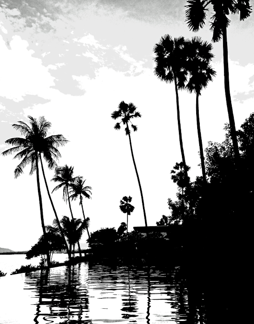 silhouettes of coconut palms