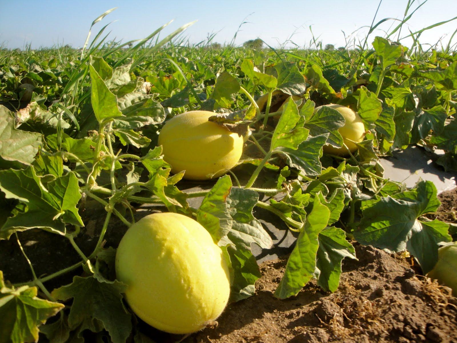 Uk is my new adventure exclusivit mondiale - Quand cueillir un melon ...
