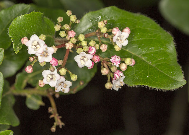 Viburnum tinus, Laurustinus. Pratt's Bottom.  1 December 2012.