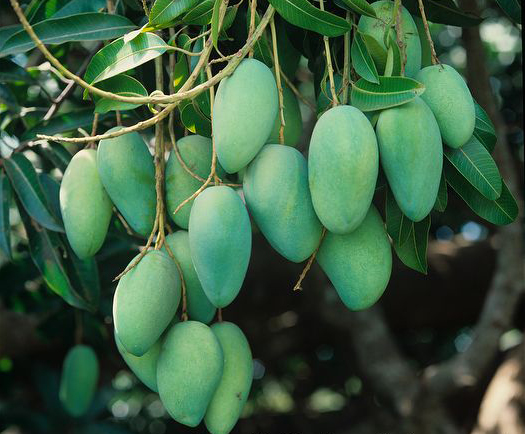 The largest number of mangos isproduce in India, China, Thailand ...