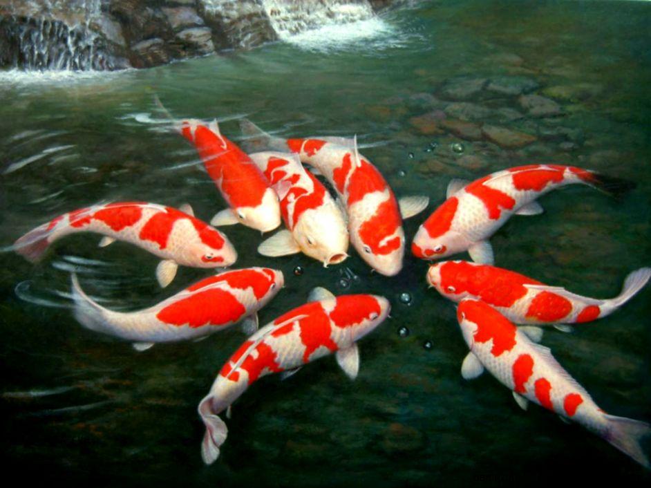 Koi fish wallpaper desktop amazing wallpapers for Beautiful koi fish