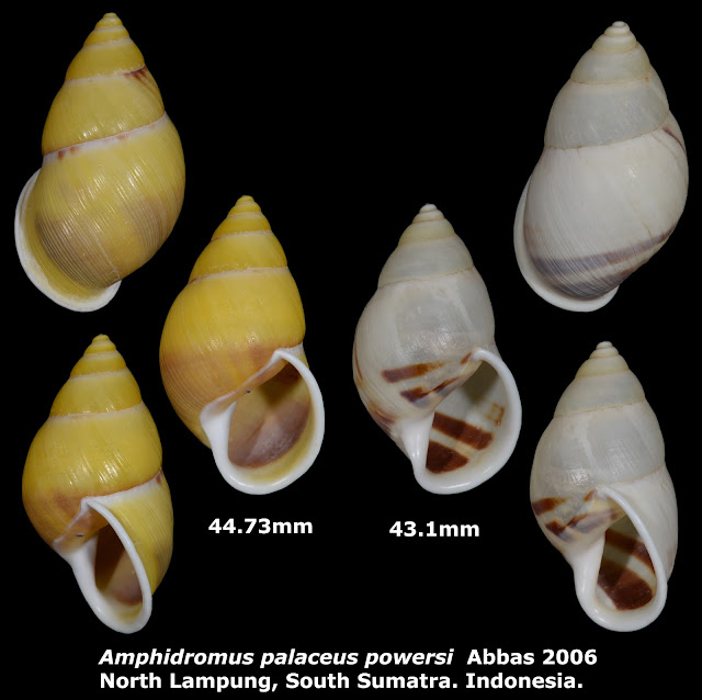 Amphidromus palaceus powersi 43.1 & 44.73mm