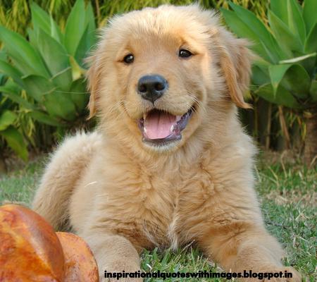 Cute golden retriever image