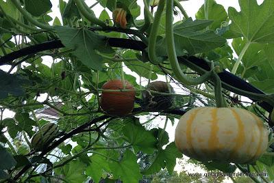 Squash and pumpkins on squash arch