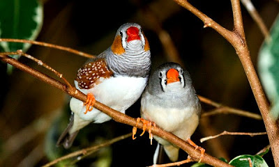 Young Finches, Humans Learn From Their Peers