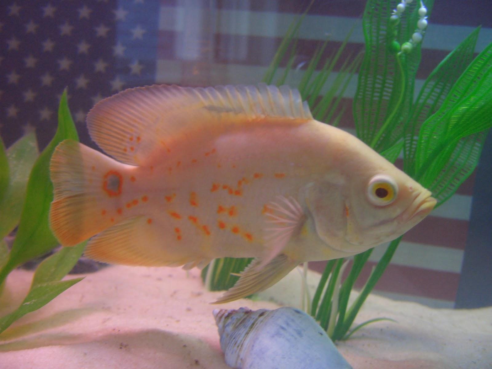 Fish index albino tiger oscar astronotus ocellatus for Pictures of oscar fish