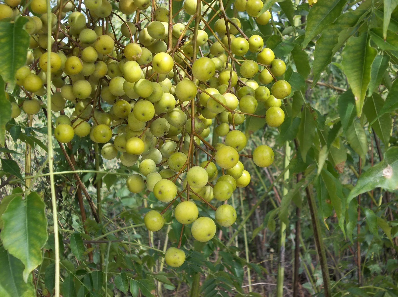 small yellow fruit that grows on trees