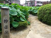 守山市にある「近江妙連公園」の大日池と瑞蓮池に珍しいハスが咲くという