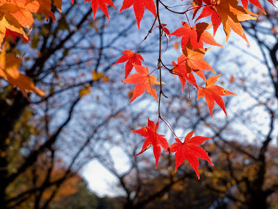Hd Nature widescreen red leaf pc wallpapers