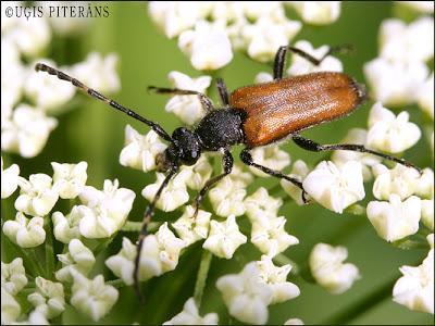 Dienas Vabole - Paracorymbia maculicornis