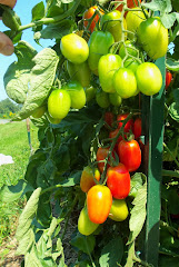 Something Different: Check Out The Planet Whizbang 2014 Tomato Grow-Up Contest!