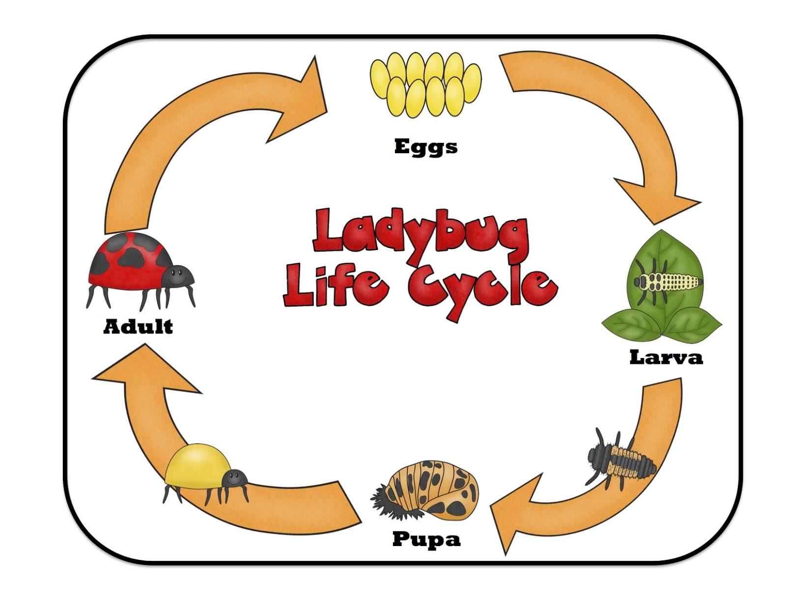 Ladybug Lifecycle Printable ~ Preschool Printables