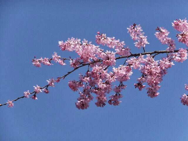 晴天と紅しだれ桜。